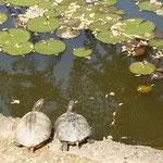 道後公園の内堀でのんびりと甲羅を干す亀を見ました。         ・亀鳴くをのんびりと待つ日和かな(和良)