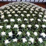 新宿御苑の大作り花壇の500を越える菊の花は均等に咲き揃っていました。・均等に咲かせる苦心菊花展(和良)