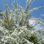 徳島市の興源寺にある蜂須賀藩主の墓所で見た大きな雪柳です。     ・雪柳見上ぐる空の青さかな(和良)