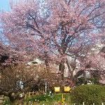 徳島市の原田家住宅の樹齢250年の蜂須賀桜の母樹です。満開でした。  ・咲き満ちて蜂須賀桜紅殊に(和良)