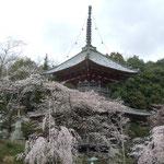 阿波市の熊谷寺では桜が咲き競っていました。                                      ・咲き満ちて花の名所となる札所(和良)