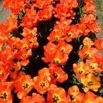 北島町のチューリップ園では65種類が咲き競っていました。  ・どれも皆色美しきチューリップ(和良)