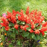 モスクワ市郊外のセルギエフポサードの花壇で見たサルビアです。    ・サルビアの赤のまぶしき花壇かな(和良)