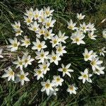 我が家の庭に今年も玉簾が群生しました。                            ・群れ咲きて白のまぶしき玉簾(和良)