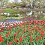 立川市にある国営昭和記念公園の広大なチューリップの庭園です。    ・チューリップ群れて咲き満つ園広し(和良)