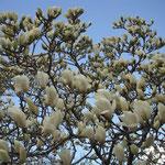 徳島市の城山にある薔薇園では春の日差しを浴びて白木蓮が咲き競っていました。  ・白木蓮の花に日陰のなかりけり(和良)