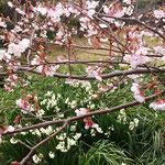 ピンクの蜂須賀桜の下には真っ白な水仙が競うように咲いていました。        ・水仙と蜂須賀桜競い咲く(和良)