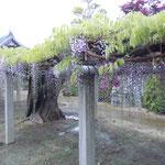 徳島県石井町の地福寺では樹齢200年を越す藤が花をつけていました。          ・二百年咲き継ぐ藤のうねる幹(和良)
