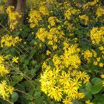 眉山山頂の石蕗の花は敷き詰めたように咲いていました。  ・敷き詰めたやうに咲き満ち石蕗の花(和良)