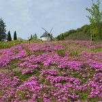 あすたむらんど徳島の風車の丘で芝桜を見ました。綺麗でした。  ・芝桜風車の丘の大斜面(和良)