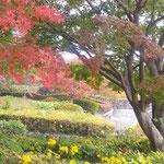 徳島市の眉山の山頂は青空と紅葉と石蕗の花が綺麗でした。 ・山頂は石蕗と紅葉と青空と(和良)