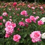 徳島城公園では色とりどりの薔薇が今を盛りに咲き競っていました。  ・赤も黄もピンクも競ひ咲きて薔薇(和良)