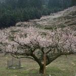 阿南市の明谷梅林です。開祖の梅を中心に4000本の梅が満開でした。  ・幹太き開祖の梅の咲きっぷり(和良)