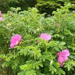皇居東御苑の薔薇園に浜茄子の花が咲いていました。          ・浜茄子の花の御苑の薔薇園に(和良)