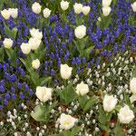 国営昭和記念公園のチューリップ園にはムスカリもありました。     ・ムスカリと色競ふごとチューリップ(和良)