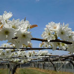 鳴門市の梨棚には日差を一杯に浴びた白い花が咲き競っていました。  ・満遍に陽を受け棚の梨の花(和良)(和良)