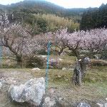 阿南市長生町の明谷梅林の手前の梅林でも梅が満開でした。       ・落とし角ありしこの道鹿の糞(和良)