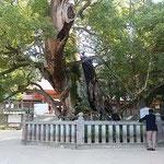 大山祇神社には樹齢2600年の大楠がありました。             ・小春日の二千六百歳の楠(和良)