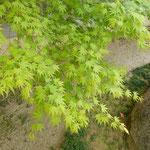 法輪寺はひっそりとして若楓をさ揺らす風もありませんでした。 ・さ揺れゐるところなかりし若楓(和良)