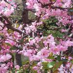 新宿御苑の日本庭園では海棠も花をつけていました。            ・引き寄せらるる海棠の明るさよ(和良)