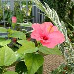 奇跡の星の植物館ではブーゲンビリアが咲き続けていました。      ・夏行きぬブーゲンビリアなほも咲く(和良)