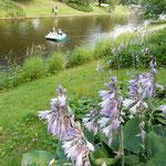 リガの自由記念碑前の運河です。岸辺に擬宝珠が咲いていました。    ・擬宝珠のリガの運河の岸辺にも(和良)