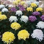 日当たりのよい菊の花壇の前に観覧者のための椅子が置かれていました。 ・日溜りにゐて菊の香を存分に(和良)
