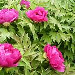 地福寺には赤い牡丹も綺麗な花をつけていました。           ・曇天となりて牡丹の色めける(和良)