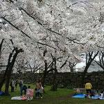 城山のある徳島中央公園の桜は染井吉野でした。            ・咲き満てる染井吉野の白さかな(和良)