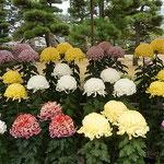 史跡高松城跡の菊花展は石垣と松の緑に映えていました。 ・石垣と松の緑と菊花展(和良)