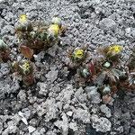 上野東照宮の牡丹園では固い土を割って福寿草が咲き始めていました。  ・土割りて出でしものあり福寿草(和良)