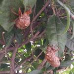 我が家の植木の蝉の抜け殻は暴風雨にもびくともしませんでした。 ・空蝉の暴風雨にも耐えて(和良)