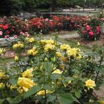 徳島城公園では今年も赤白黄色とたくさんの薔薇が咲きました。 ・赤よりも黄色が好きで薔薇の花 (和良)
