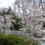 熊谷寺には垂れ桜もたくさんありました。                                          ・俯きに咲きて垂るる桜かな(和良)