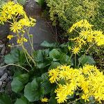 朝の光を浴びた高輪のホテルの庭園に石蕗の花が咲いていました。   ・庭園が自慢のホテル石蕗の花(和良)