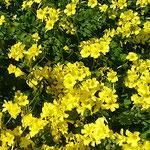 近所の家の庭に南アフリカ原産のキイロハナカタバミが咲いていました。 ・外つ国の酢漿草咲ける春の庭(和良)
