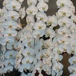 銀行本店ロビーの胡蝶蘭はすべての花びらが瑞々しかったです。 ・花びらの瑞々しかり胡蝶蘭(和良)