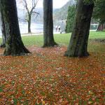 ブレッド湖の湖畔には大きな木が茂っていました。           ・大木の樹下の落葉の森々と(和良)