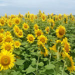 藍住町の向日葵は田んぼを何枚も埋め尽くして咲いていました。 ・一つづつ咲いて向日葵一面に(和良)