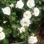 藍住町の薔薇園でマーガレットメリルという薔薇を見ました。      ・マーガレットメリルなる薔薇白眩し(和良)