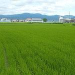藍住町の自宅周辺も一面に青田が広がる季節となりました。 ・阿讃嶺を低しと思ふ青田かな(和良)