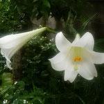 我が家の庭に白い百合が咲きました。今年は二輪だけでした。      ・二輪のみなれど我が庭百合の花(和良)