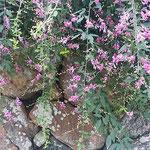 国登録有形文化財の高麗郷の古民家は高い石垣に囲まれていました。   ・古民家の石垣高し萩の花(和良)