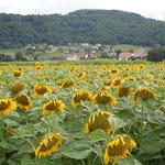 ジュネーブに近いレマン湖北岸の町で見た向日葵です。                                ・向日葵の夕日捕らへてをりにけり(和良)