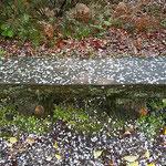 農業大学跡地の裏山にある公園でも花屑が散っていました。       ・見るうちに花屑積もりゆくベンチ(和良)
