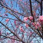 文化の森では梅に鶯の景を目の前で見ることができました。  ・目の前に梅に鶯見る日和(和良)