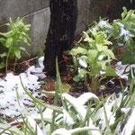 我が家の庭の蕗の薹にも厳しい雪の朝でした。                                      ・わが庭の蕗の薹にも雪の朝(和良)