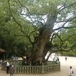 大山祇神社の楠は樹齢2600年。国指定の天然記念物になっています。   ・老木の天辺よりの秋の声(和良)