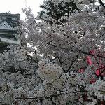 国宝の高知城の桜です。今年は高知が日本で一番早く満開になりました。 ・国宝のお城を仰ぎ桜見る(和良)