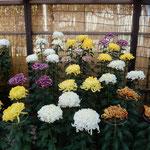 吉野川市市役所前の菊花展では大勢の人が熱心に菊を鑑賞していました。 ・菊を見る人の寡黙となりにけり(和良)